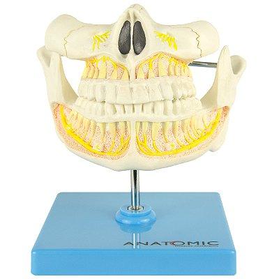 Dentição Adulta TGD-0313-I