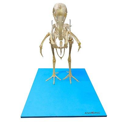 Esqueleto Da Galinha, em Tamanho Natural TGD-0606-G