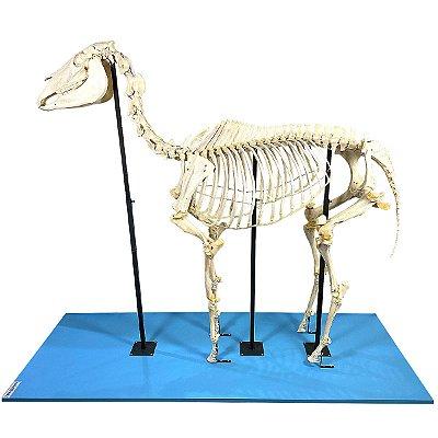 Esqueleto de Cavalo, em Tamanho Natural TGD-0608-C