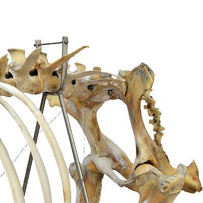 Esqueleto da Vaca em Tamanho Natural TGD-0609-V