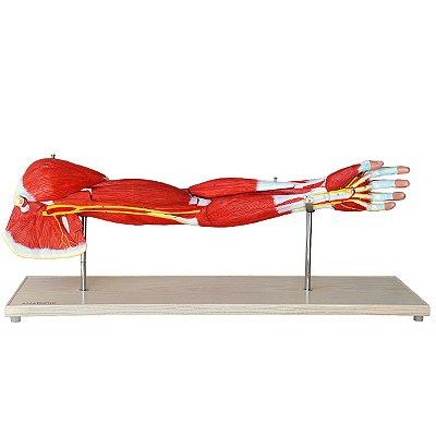 Músculos do Membro Superior TGD-4010
