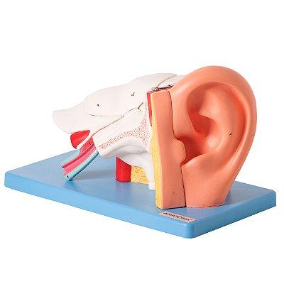 Ouvido Ampliado e Numerado, em 6 Partes TZJ-0309-A