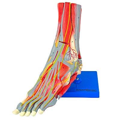 Pé Muscular com Principais Vasos e Nervos, em 9 Partes TZJ-0330-P