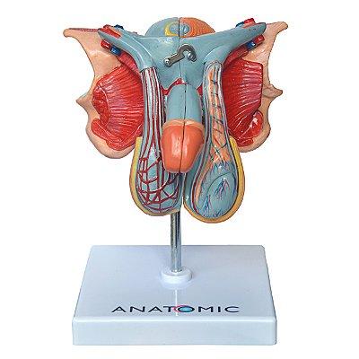 Órgão Genital Masculino em 5 Partes TZJ-0353-E