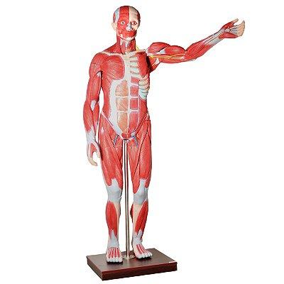 Manequim Muscular de 170cm, Assexuado, com Órgãos Internos, em 30 Partes TZJ-4000-A