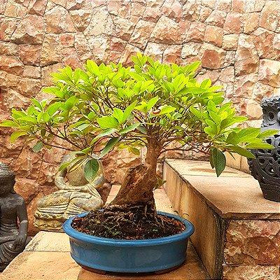 Bonsai Oriental de Azaléia (35 anos)