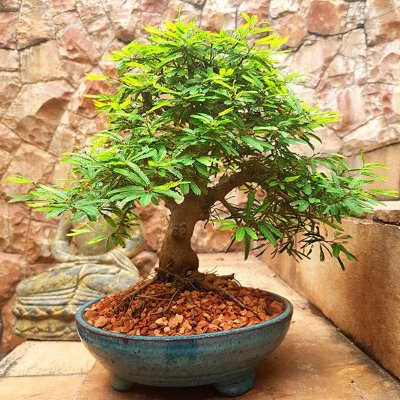 Bonsai Caliandra 12 Anos