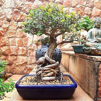 Bonsai Oriental Ulmus 16 anos