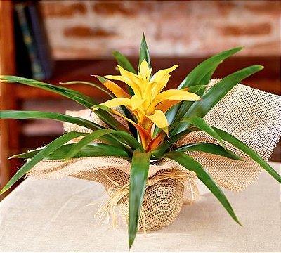 Bromélia Guzmania amarela