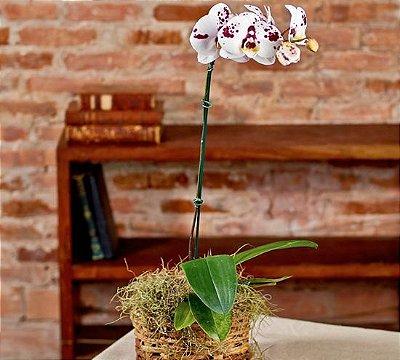 Orquídea phalaenopsis exótica