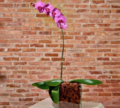 Orquídea phalaenopsis lilás em base de vidro