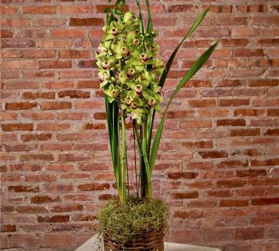 Orquídea Cymbidium verde no cachepô rústico