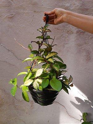 Flor-de-Cera (Hoya carnosa Tricolor)