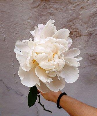 Flores de Época - PEÔNIAS