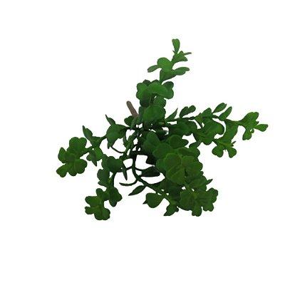 Flor Suculenta Hoya kerrii Verde