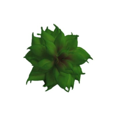 Flor Suculenta  Haworthia Cymbiformis Verde