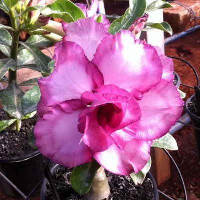 Rosa do deserto roxa MAU - 12 Meses