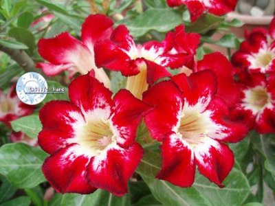 "Kit 5 Sementes de "" Mr. KO FLAME OF LOVE "" Rosa do Deserto - Adenium Obesum"