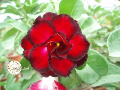 "Kit 5 Sementes de "" Mr. KO 09 "" Rosa do Deserto - Adenium Obesum"