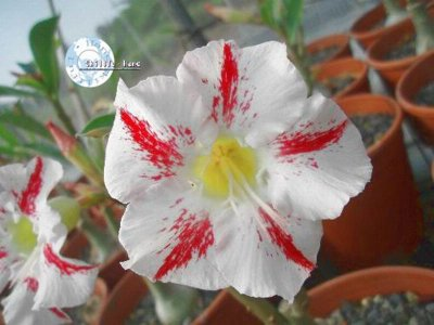 "Kit 5 Sementes de "" Mr. KO GARDEN PARTY "" Rosa do Deserto - Adenium Obesum"