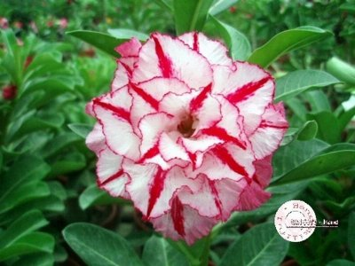 "Kit 5 Sementes de "" Mr. KO 36 "" Rosa do Deserto - Adenium Obesum"