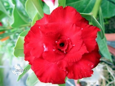 "Kit 5 Sementes de "" Mr. KO 39 "" Rosa do Deserto - Adenium Obesum"