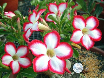 "Kit 5 Sementes de "" Mr. KO SUPER NOBLE "" Rosa do Deserto - Adenium Obesum"