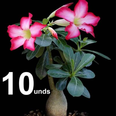 KIT com 10 Mudas de Rosa do Deserto até 8 meses cores sortidas - Adenium Obesum