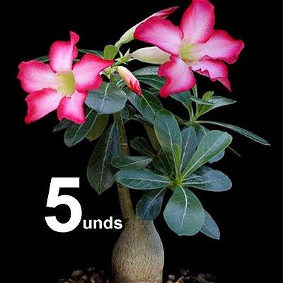 KIT com 05 Mudas de Rosa do Deserto até 8 meses cores sortidas - Adenium Obesum