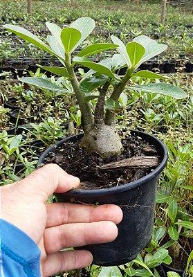 Rosa do Deserto 7 até 9 meses - Adenium Arabicum