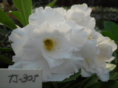 Muda Tripla branca de rosa do deserto TS-305 - 12 Meses
