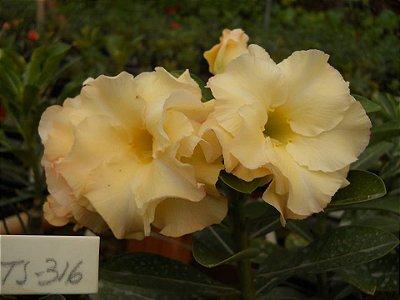 Muda enxertada de rosa do deserto 316 - 12 Meses
