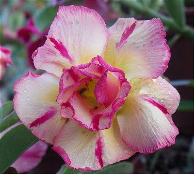 Muda enxertada de rosa do deserto THONG  - 12 Meses