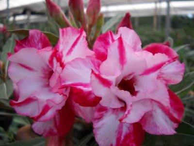 Rosa do deserto dobrada e matizada TW-8 / TW8 - 1 ano de idade