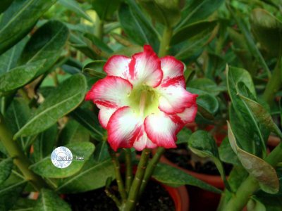 "Kit 5 Sementes de "" Mr. KO POLARIS "" Rosa do Deserto - Adenium Obesum"
