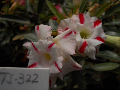 Rosa do deserto TS 322 - 12 Meses