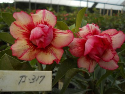 Rosa do deserto dobrada TS-317 - 12 Meses