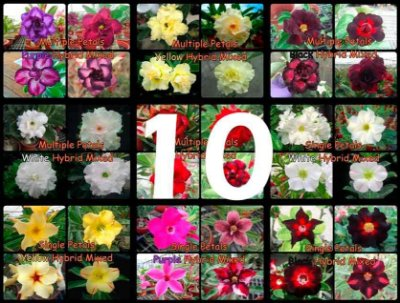 "Kit 10 Sementes de Rosa do Deserto ""MULTI PETALAS MIX"""