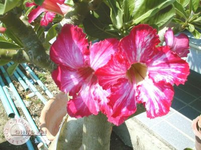 "Kit 5 Sementes de "" Mr. KO FLOWERS  FLOWERS "" Rosa do Deserto - Adenium Obesum"