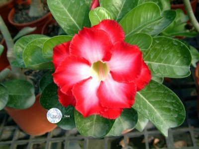 "Kit 5 Sementes de ""Mr. FRAGRANT CLOUD "" Rosa do Deserto - Adenium Obesum"