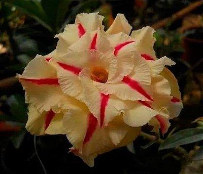 Rosa do deserto Amarela Tripla T-21 / T21 / T 21 - 12 Meses