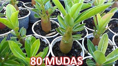 KIT com 80 Mudas de Rosa do Deserto 3 a 5 meses - Adenium Obesum