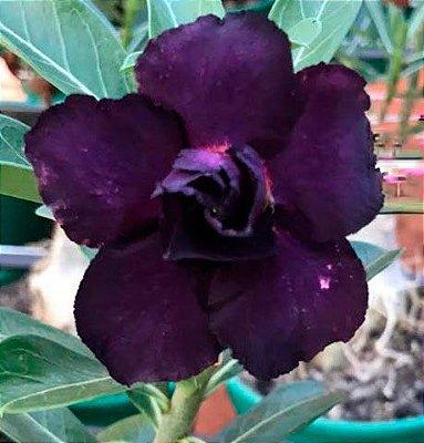 Rosa do deserto roxa dobrada TULIPA - 12 Meses