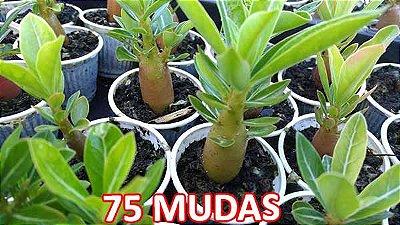 KIT com 75 Mudas de Rosa do Deserto 3 a 5 meses - Adenium Obesum