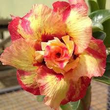 Rosa do deserto tripla JULIUS CESAR 12 Meses