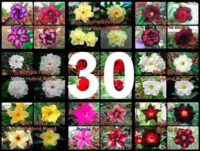 "Kit 30 Sementes de Rosa do Deserto ""MULTI PETALAS MIX"""
