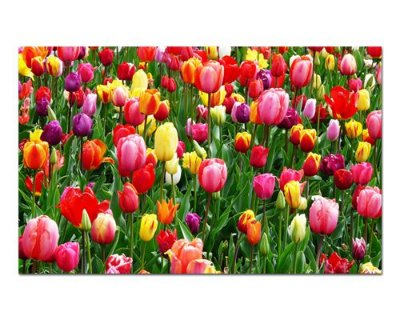 Ímã Decorativo Tulipa - Garden - IFL04