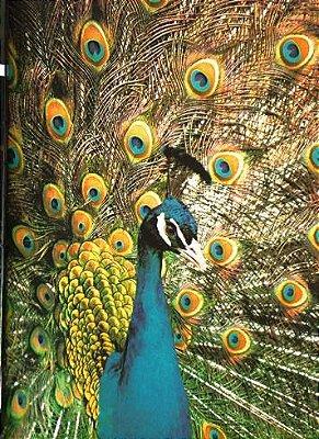 Pavão Azul Filhotão