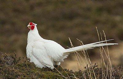 Faisão branco-Faisão Jumbo-White