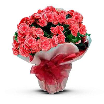 Begônia Cor de Rosa
